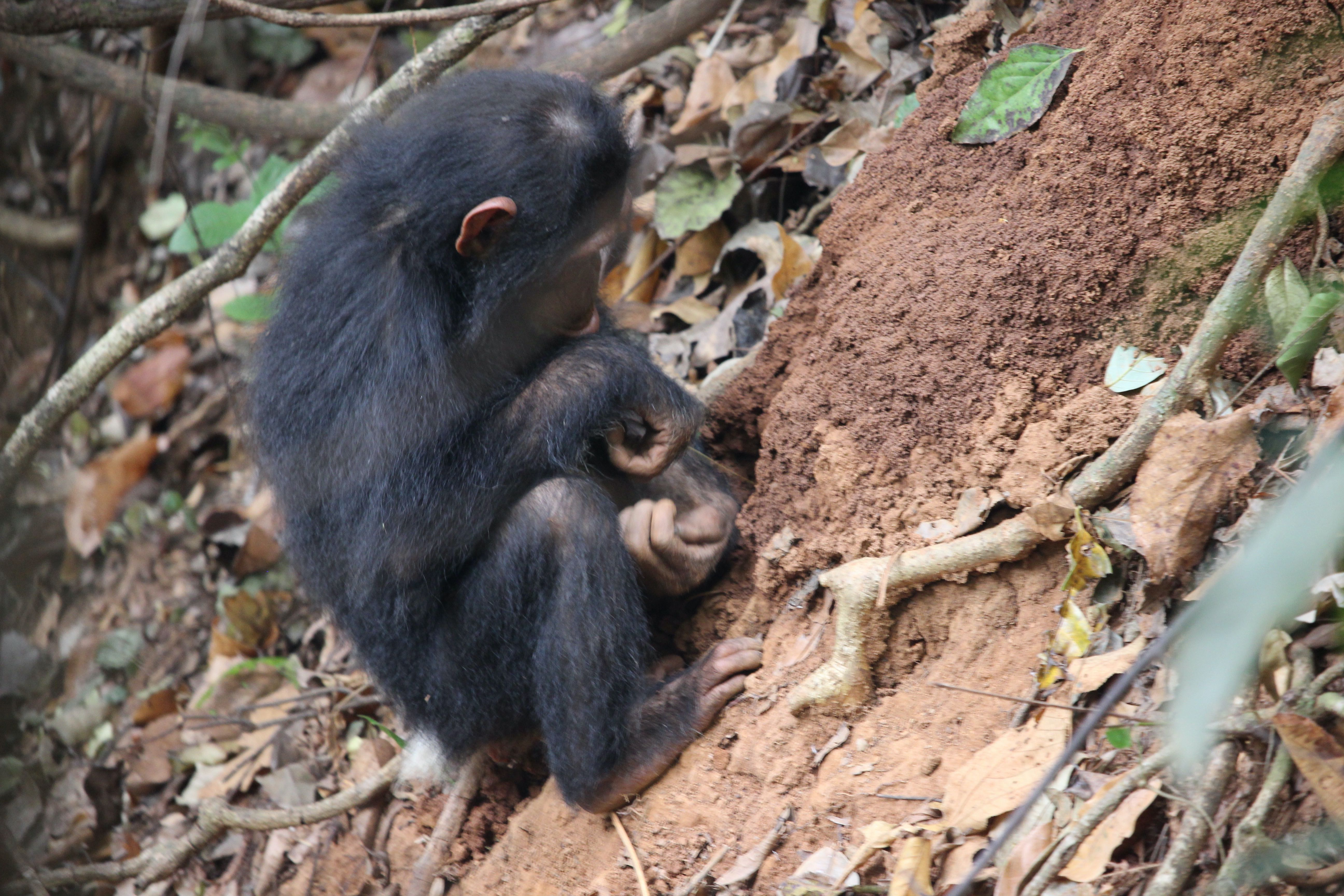 termite fishing by a young chimpanzee (Tanzania)