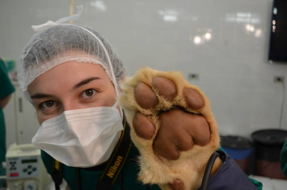 Lioness being treated in the Veterinary Teaching Hospital, UFPR, Brazil