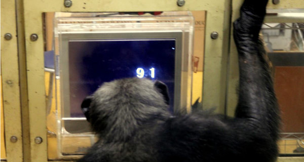 chimpanzee doing number task on touch panel computer