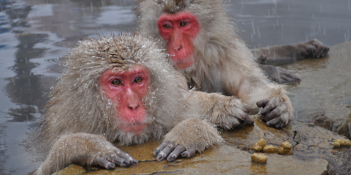Japanese Macaque in the snow